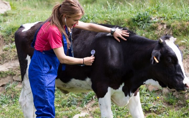 veterinarian examining a cow, world veterinary day